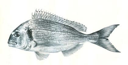 cupra balık ile ilgili görsel sonucu